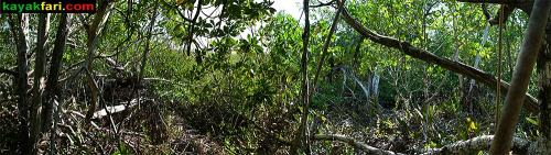 Overgrown mangrove jungle at the Liquor Still site