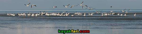 First National Bank kayakfari Florida Bay kayak Everglades Flex Maslan mud flats low tide white pelicans