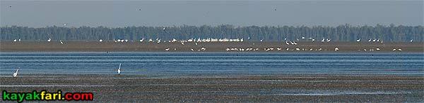 First National Bank kayakfari Florida Bay kayak Everglades Flex Maslan mud flats low tide birds