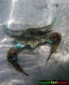 Florida Bay Kayak Everglades kayakfari Camp paddle flex maslan photography art blue crab