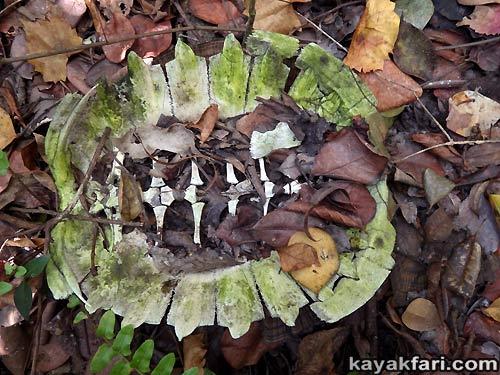 Flex Maslan kayakfari awakenthegrass kayak shark valley everglades paddling tree hammock seagrape sawgrass willoughby key 1898 turtle shell