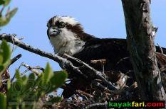 Flex Maslan Florida Bay Kayak Everglades birds kayakfari photography wildlife portraits habitat birding florida artist