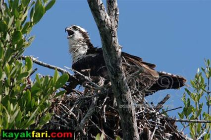 Flex Maslan Florida Bay Kayak Everglades birds kayakfari photography wildlife portraits habitat birding florida artist