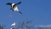 Flex Maslan Florida Bay Kayak Everglades birds kayakfari photography wildlife miami river birding florida artist