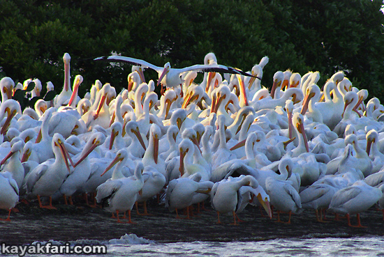Flex Maslan Florida Bay Everglades white pelicans kayakfari photography Kayak wildlife artist winter birding