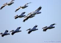 Flex Maslan Florida Bay Everglades white pelicans kayakfari photography Kayak wildlife artist winter birding